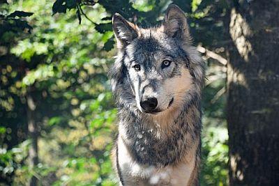 Wolf, Mangfallwölfe, Naturschutzjugend